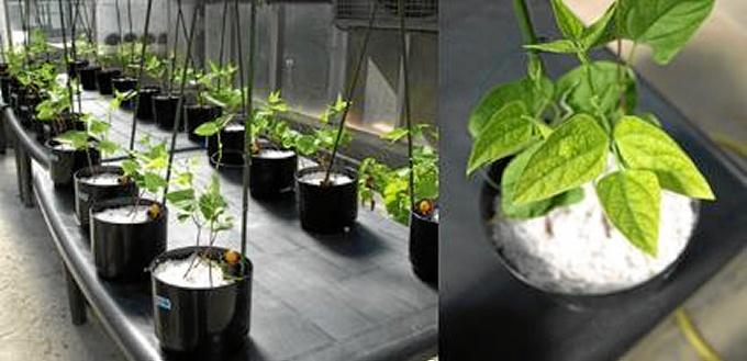 Plantas de judía antes de la aplicación de los tratamientos. El amarilleamiento de las hojas muestra los síntomas de deficiencia de hierro, manganeso y zinc.